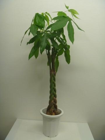 開店祝い・開業祝い・移転祝いに観葉植物を配達します