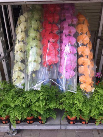 祝い花に、レインボー胡蝶蘭(7本立)は如何ですか♪