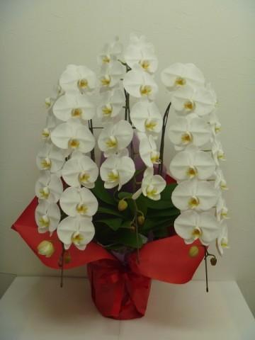 開業祝い・開店祝い・事務所移転祝いなどに、新鮮な胡蝶蘭を配達します。