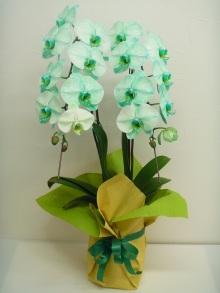 ブルーエレガンス・グリーンエレガンス・パープルエレガンス(青い胡蝶蘭・緑の胡蝶蘭・紫の胡蝶蘭)承ります♪